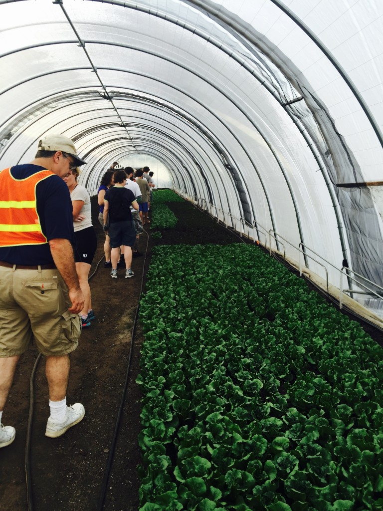 Hoop house lettuces at Atlanta Harvest